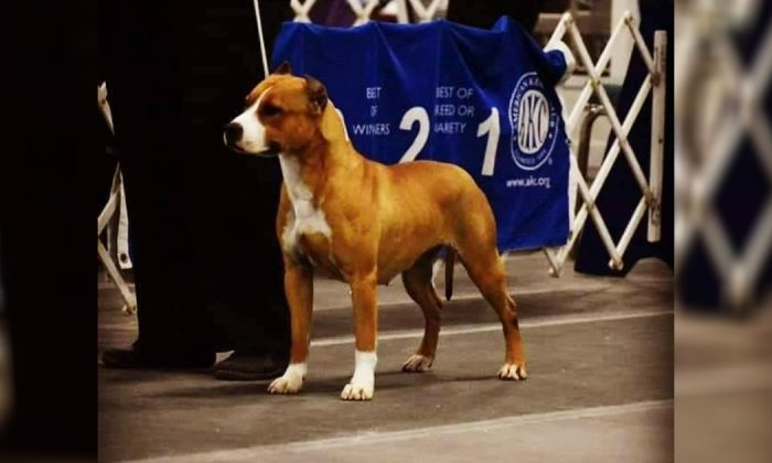 Gayle the 22-month-old red white American Staffordshire terrier disappeared minutes before she was due to board her flight at Atlanta, Ga., on March 23. (Courtesy of K9kait/Facebook)