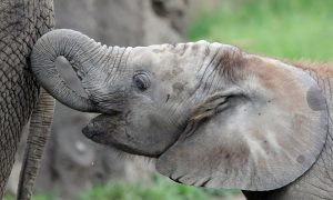 2 Female Elephants Die Days Apart After Testing Positive for Herpesvirus at Indianapolis Zoo