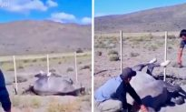 Rescuers Work to Save Wild Horse Tangled in a Wire Fence
