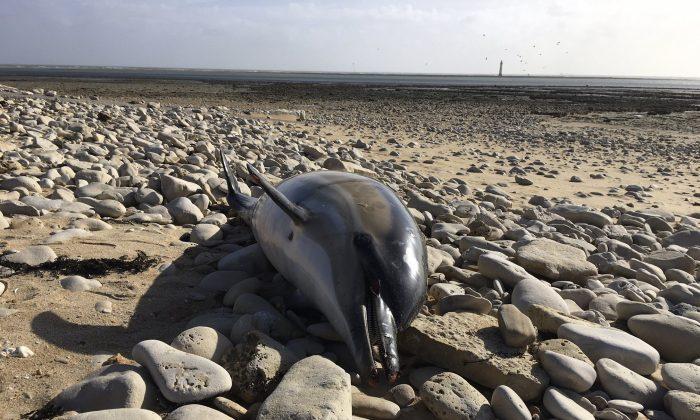 A dead dolphin lies on a shore of Atlantic coast of west France, on Feb. 10 2019. (Helene Peltier, Observatoire Pelagis/CNRS/Universite de la Rochelle via AP)