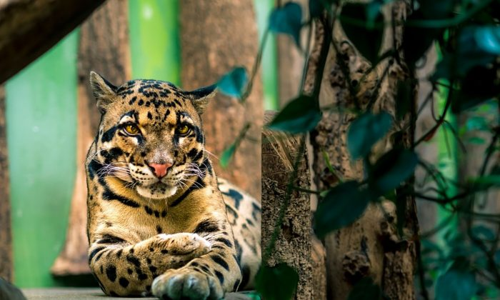 Image of a clouded leopard. (Piviso/Pixabay)