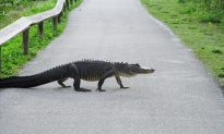 Woman Sees Alligator With Knife Sticking out of Head