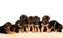 Owner Thinks Dog Will Deliver Just 6 Puppies, Is Surprised to Greet 12 of Them