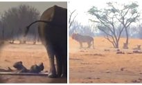 Video: Lions Circle Trapped Baby Elephant and Its Panicked Mom, but Here Comes the Help