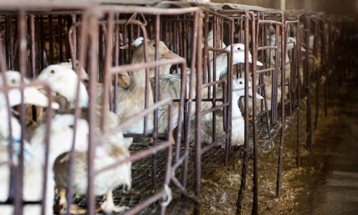 Ducks in cages at a farm in Yanqing District, outside Beijing on Jan. 27, 2010. (OLLI GEIBEL/AFP/Getty Images)