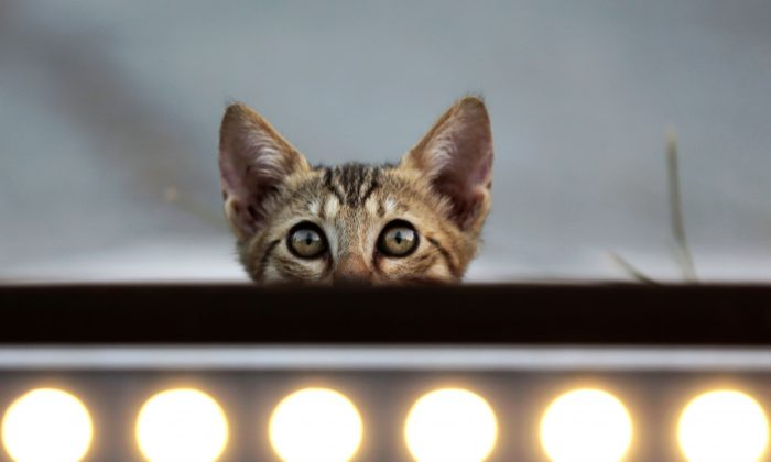 A street kitten looks out from behind a panel of lights along the Old City of the Cypriot capital Nicosia on Aug. 4, 2018. (Hasan Jamali/AFP/Getty Images)
