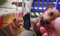 Pregnant Homeless Dog Growls at Rescuers but it Ends With Brand-New Family at Foster Home