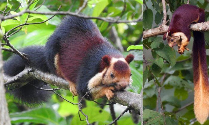 Images of Malabar giant squirrels. (R by Amara Bharathy) (L by Yathin S Krishnappa/Wikimedia Commons)