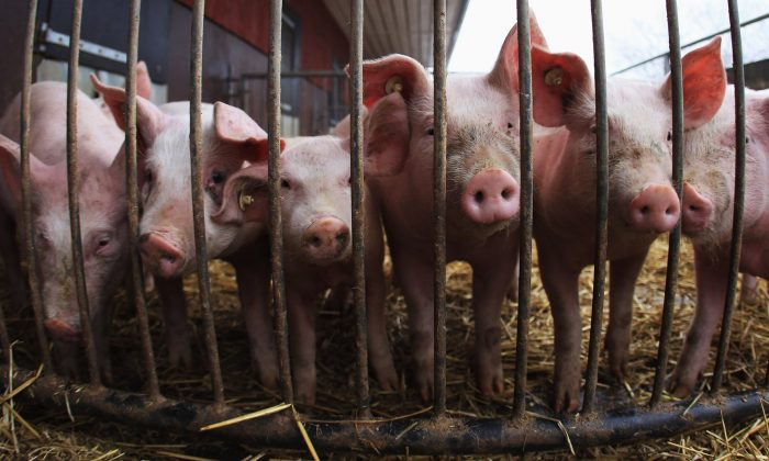 First outbreak of African swine fever (ASF) has been reported in Cambodia near the Vietnam border. (Joern Pollex/Getty Images)