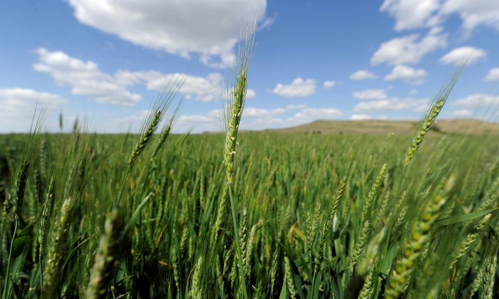 Hybrid wheat will be ready to harvest by mid-June at the bio-technology company Syngenta's research farm near Junction City, Kansas, U.S. on May 4, 2017. (Dave Kaup/Reuters)