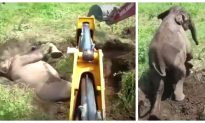 Baby Elephant Stuck Upside Down in Mud Is Freed–With Men's and Digger's Help