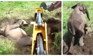 Baby Elephant Stuck Upside Down in Mud Is Freed--With Men's and Digger's Help