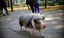 Escaped Pet Pig Slaughtered by 'Helpful' Neighbor in California