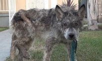 Sick Stray Confused for a Wolf Gets True Breed Revealed After Rescuers Perform a DNA Test