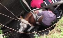 Cow Helplessly Stuck in a Pit, Firefighters Spent Hours to Pull It Free