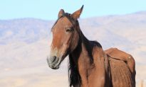 Emaciated Mare Found Near Death in Cornfield Makes Astonishing Recovery 6 Months Later