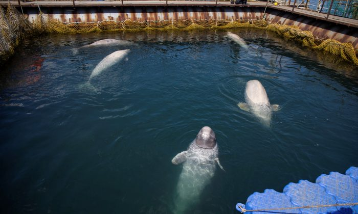 A view shows a facility, where nearly 100 whales including orcas and beluga whales are held in cages. (Press Service of Administration of Primorsky Krai/Alexander Safronov/Handout via Reuters)