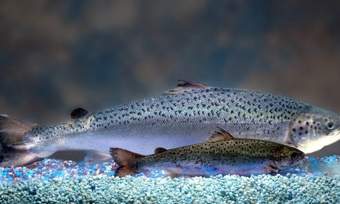Size comparison of an AquAdvantage salmon (background) vs. a non-transgenic Atlantic salmon sibling of the same age (12 months). Canada was the only country where GM salmon could be sold until last month, when the U.S. government reversed an import ban.(AquaBounty Technologies)