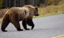 Viral: Woman Waves at Bear From Car Before It Waves Back