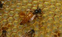 Doctors Probe Woman's Eye to Find 'Sweat Bees' Feeding on Her Tears