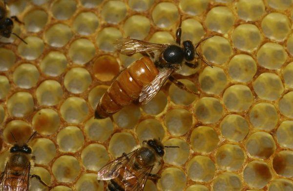 bees at an apiary