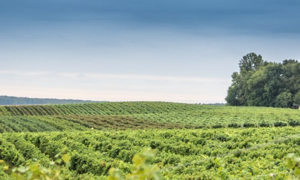 Horton-Vineyards-in-Central-Virginia-Photo-Megan-L-Coppage-700x420