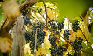Virginia Wines: American History in a Glass