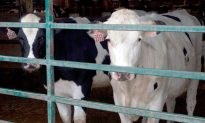 Dairy Safety Net Program Expected in June
