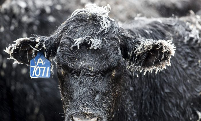 Ice forms on a calf at a ranch outside of Kilgore, Neb., on April 10, 2019. (Chris Machian/Omaha World-Herald via AP)