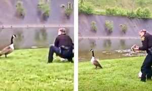 Cop Unexpectedly Saves A Baby Goose When Its Mother Can't!