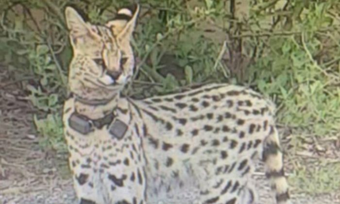 "Virginia Beach Animal Control officers are looking for ""Rocky"" the serval (City of Virginia Beach)"