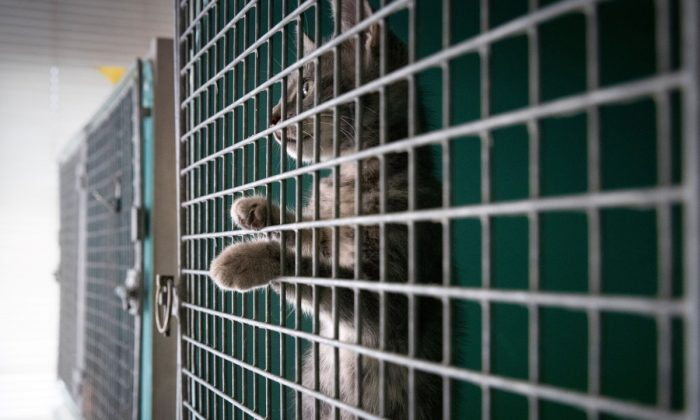 A cat looking out of a cage before going up for adoption. (JOEL SAGET/AFP/Getty Images)