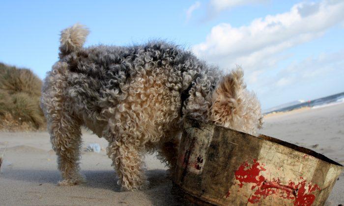 A Lakeland terrier explores the beach. (Pixabay)