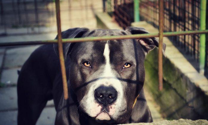 Stock image of a pit bull. (Cseszka/Pixabay)