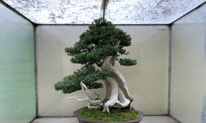 Korean Yew (Taxus cuspidata), born around 1500, in training as a bonsai since 1986. Original artist: Su Hyung Yoo. (Courtesy of the Pacific Bonsai Museum)