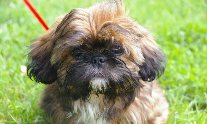 File photo of a Shih Tzu, the same breed of dog that was euthanized in Virginia to be buried alongside its deceased owner. (Pixabay)