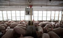 China Eyes US Poultry, Pork Imports in Trade Talks