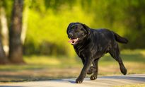 Black Lab Runs Off From Home on an Adventure, but Later Returns Home With Two New Friends