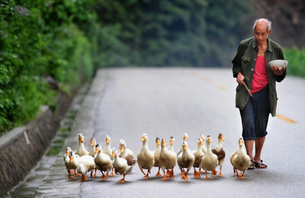 Farmer and ducks