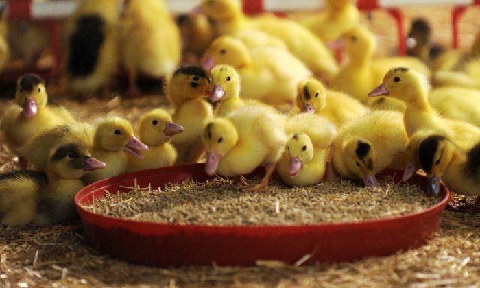 Baby ducks feeding. (IROZ GAIZKA/AFP/Getty Images)