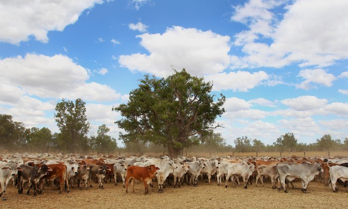 A general view of cattle yards on July 27, 2018 in Australia. Dunbar is a 2 million acre cattle station situated in the Gulf of Carpentaria along side Rutland Plain. (Lisa Maree Williams/Getty Images)