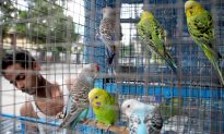 Wildlife Officers Rescue 550 Birds Stuffed in Tiny Cages From Illegal Pet Market in India