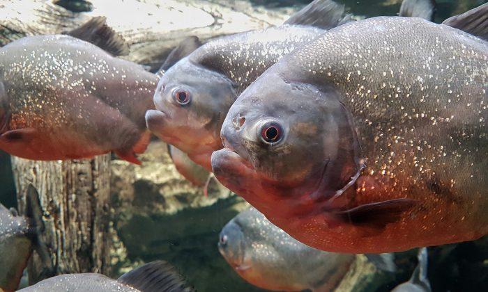 A shoal of piranhas (Pixabay)