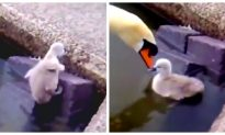Video: This Daddy Swan Teaches His Child a Lesson in Patience and We Could All Learn From It