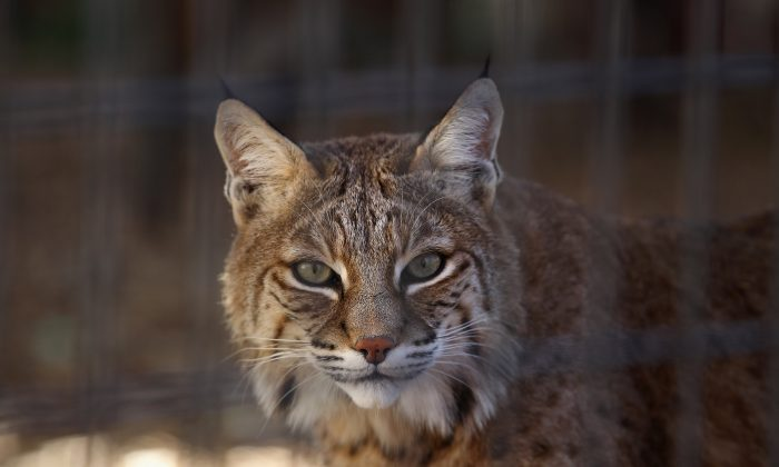 A hungry bobcat at the Wild Animal Sanctuary in Keenesburg, Colo., on Oct. 20, 2011. (John Moore/Getty Images)
