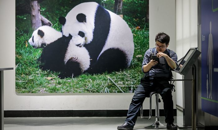 A tourist plays his cellphone at Chengdu Giant Panda Breeding Research Base in Chengdu, Sichuan Province on April 3, 2018. (Wang He/Getty Images)