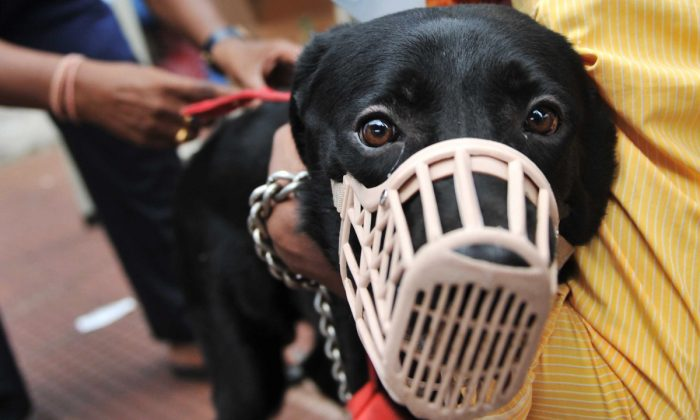 Stock footage of a Labrador in a muzzle. (NOAH SEELAM/AFP/Getty Images)