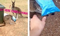 Kangaroo With Head Stuck in Chip Bag Jumps Around Helplessly, but Watch What Man Does