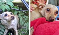 Video: Rescuers Try to Help Abandoned Chihuahua, but She's Too Scared for Human Contact