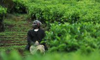 World's Biggest Black Tea Exporter's Crop Halved by Drought